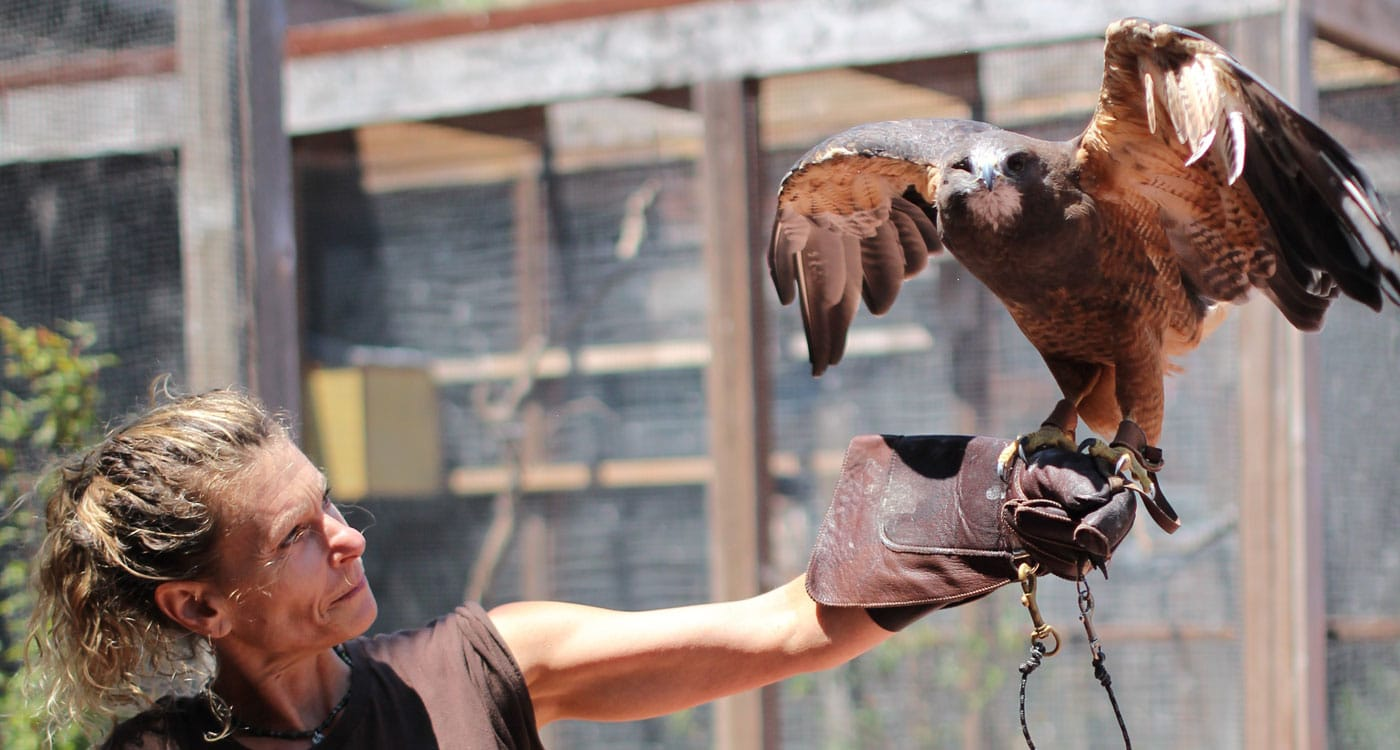 Meet the Red-tailed Hawk. Photo by Tory Russell