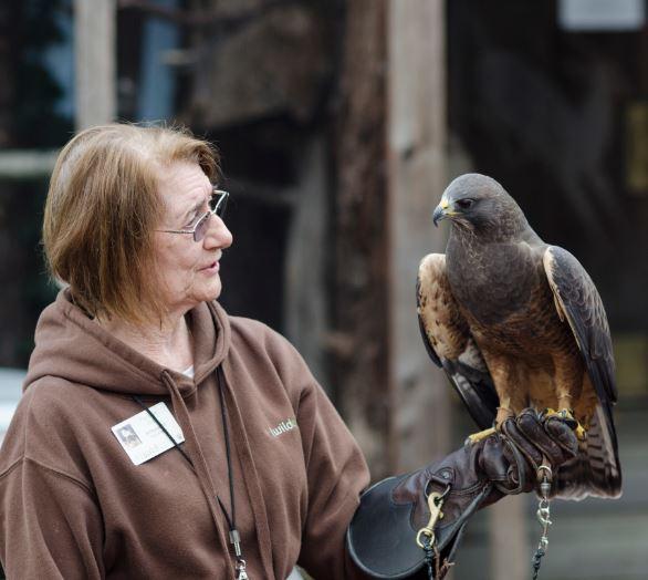 Meeting the Swainson's Hawk. Photo by Laurel Hulme