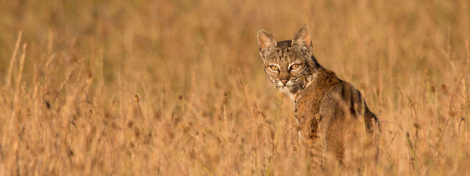 Bobcat in grass. Photo by Tory Kallman