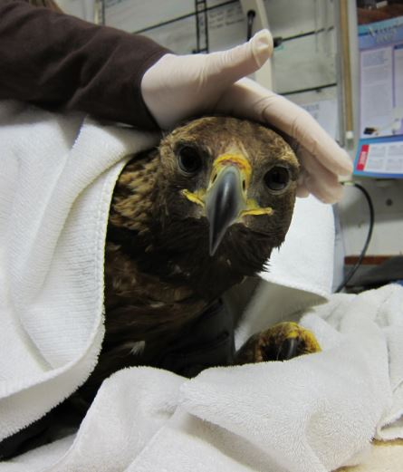 Golden Eagle in care at WildCare. Photo by Marian Eschen