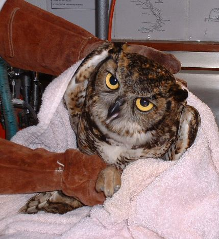 Great Horned Owl in care