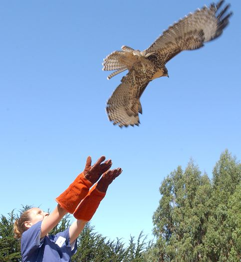 Red-tailed Hawk release. Photo by Nina Zhito