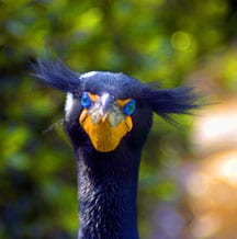 Double-crested Cormorant. Photo by Patty Spinks