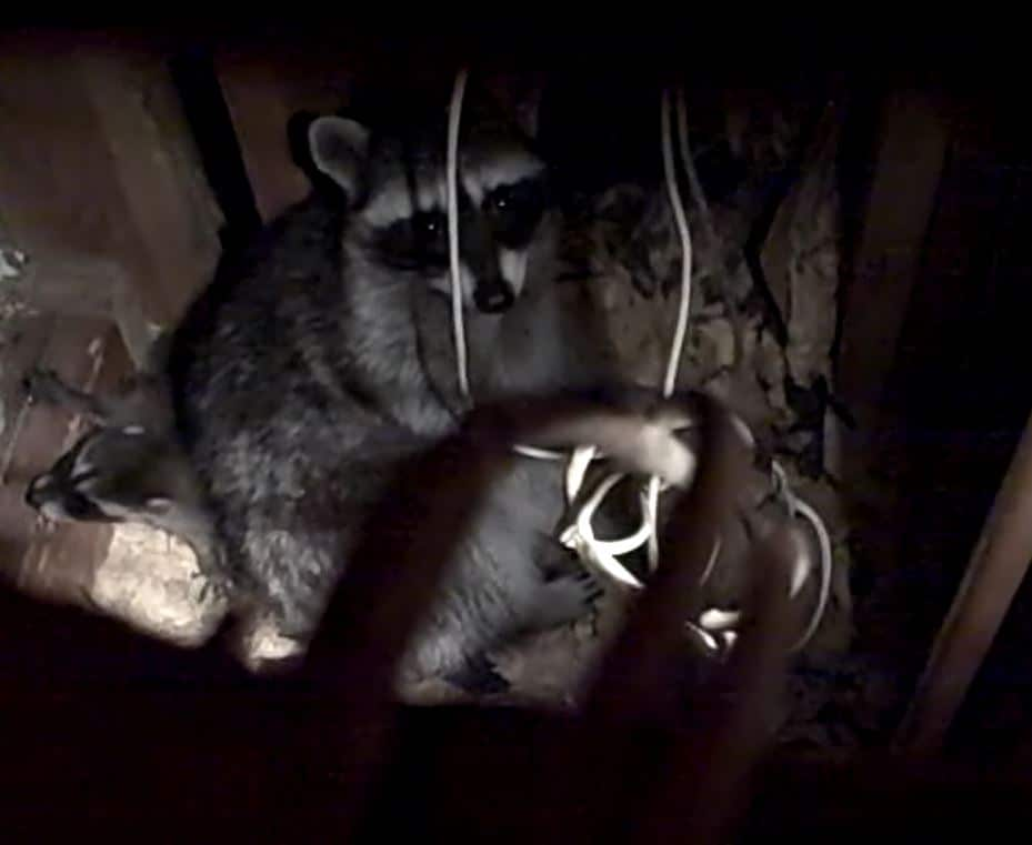 Mother Raccoon in crawlspace. Photo by Alison Hermance