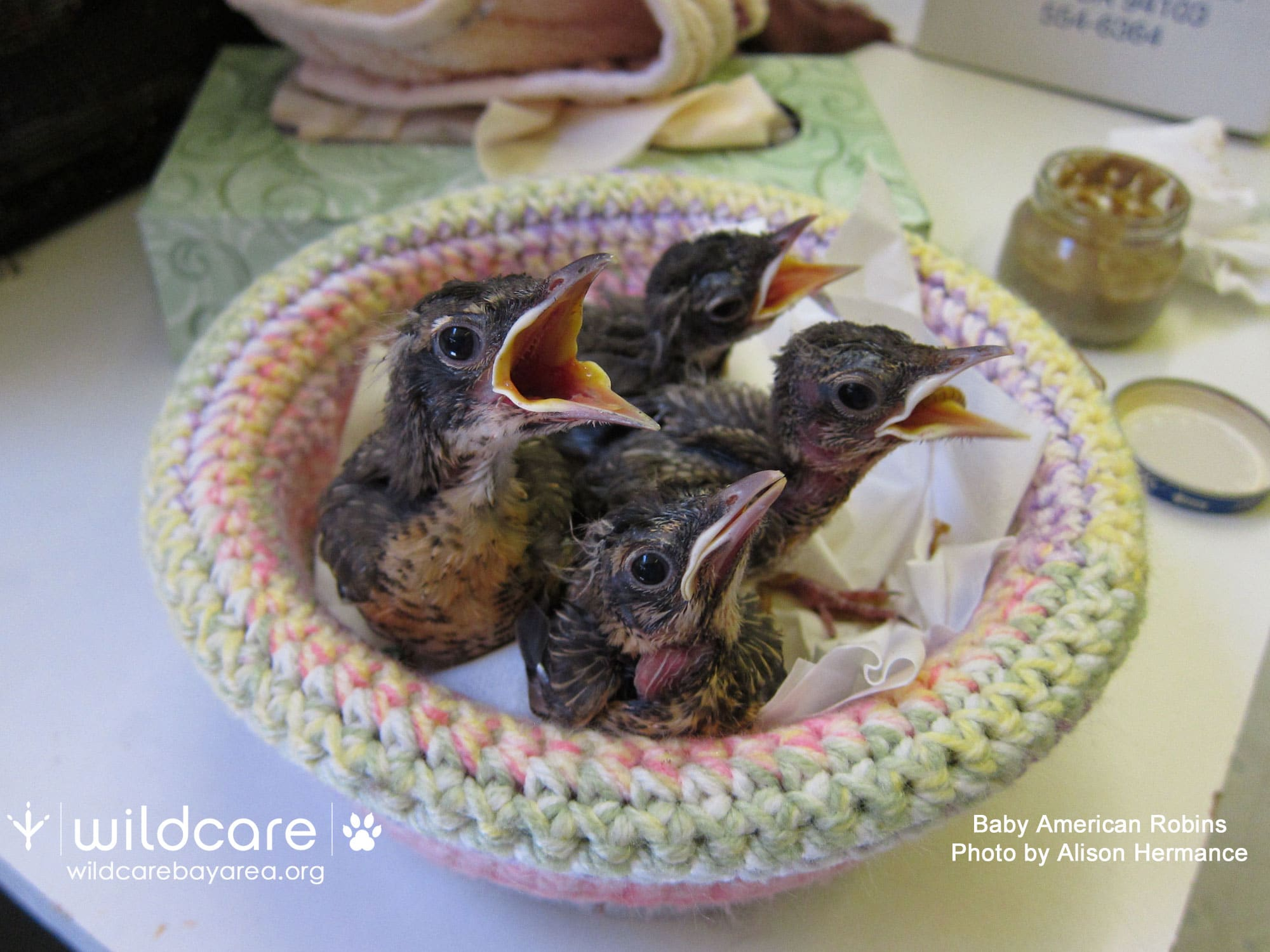 Baby robins at WildCare. Photo by Alison Hermance