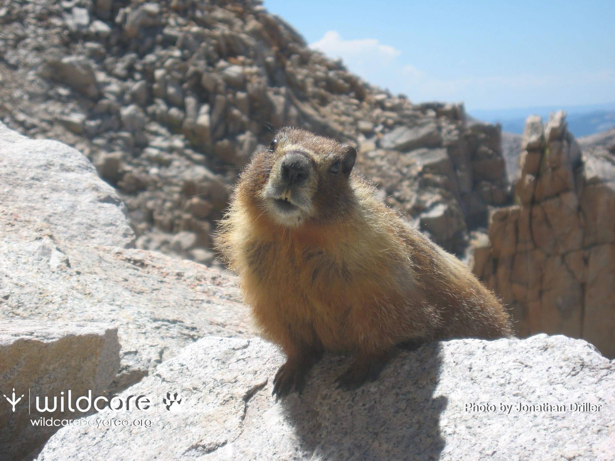 Marmot. Photo by Jonathan Driller