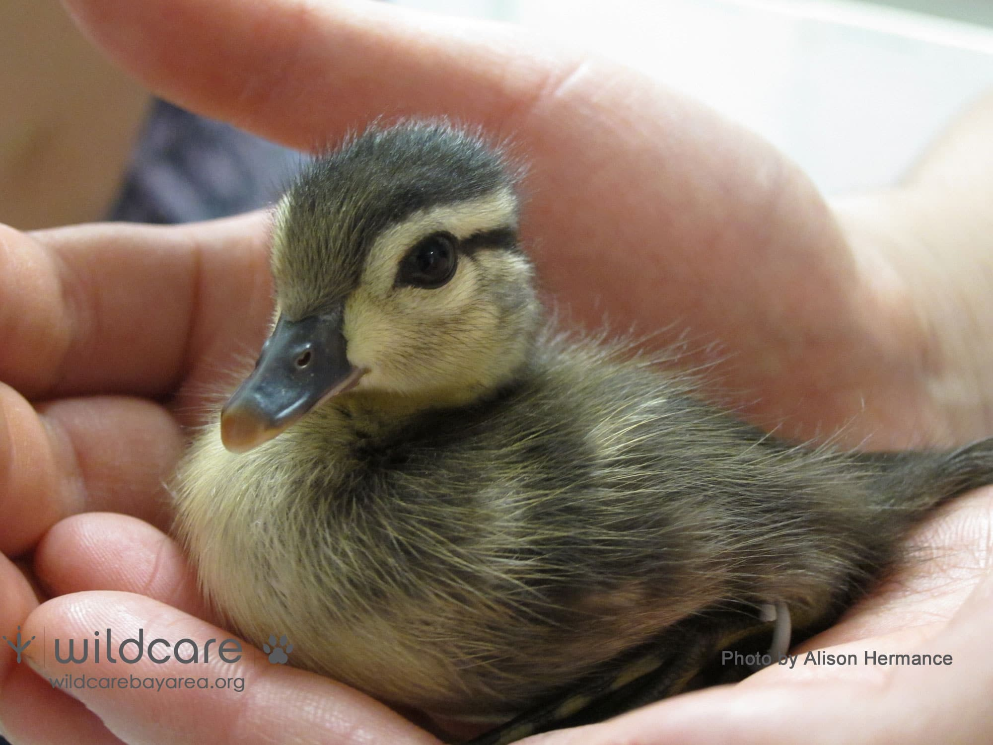 Baby Wood Duck at WildCare. Photo by Alison Hermance