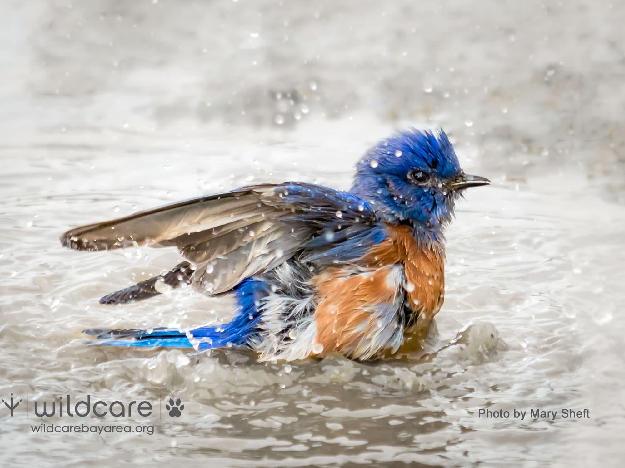 Bathing Bluebird. Photo by Mary Sheft