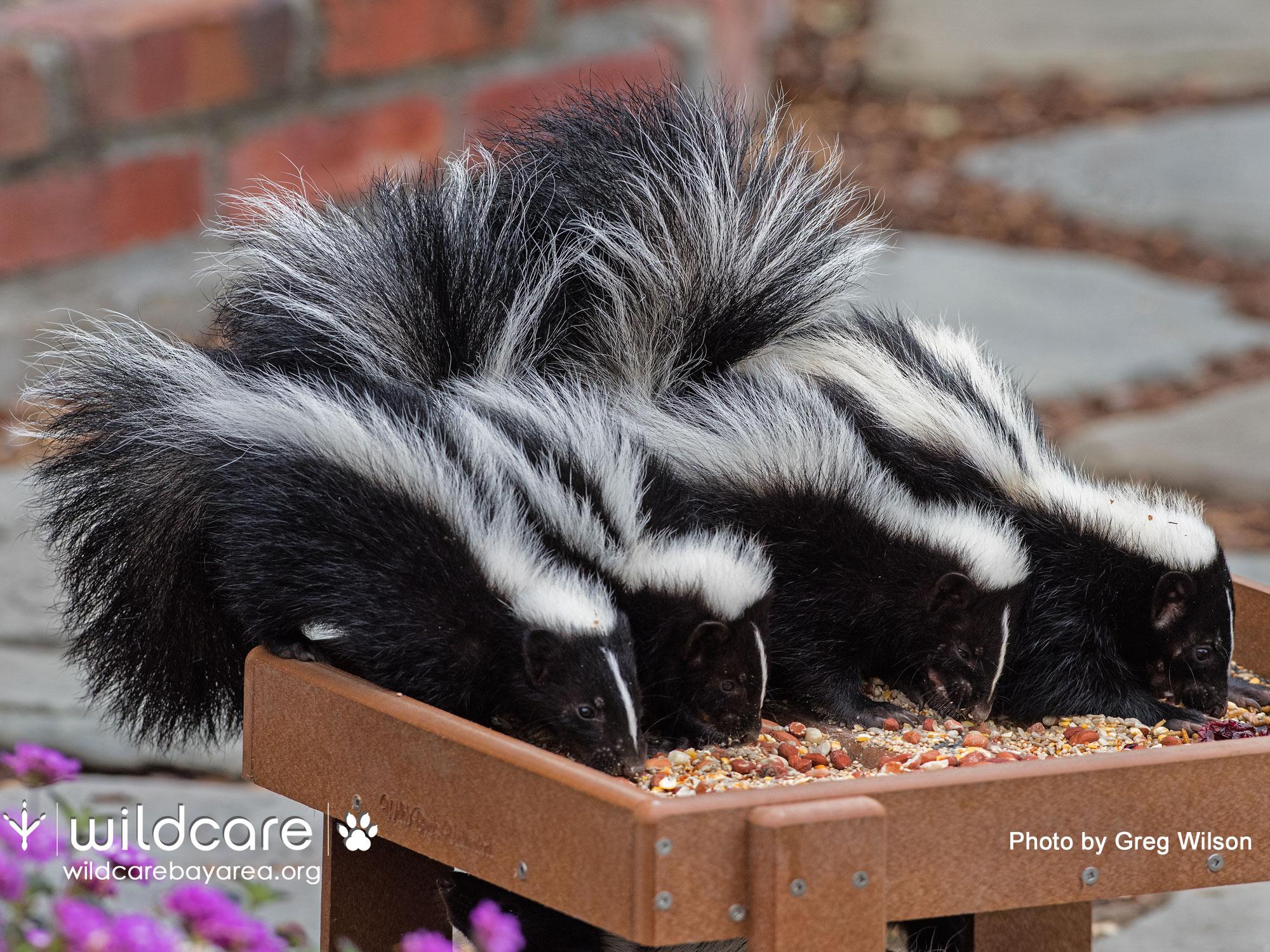 Baby skunks at a bird feeder. Photo by Greg Wilson