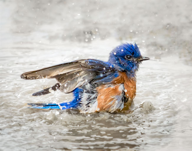 Bluebird Bathing. Photo by Mary Sheft