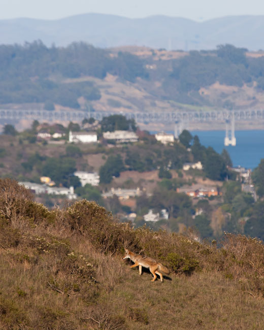 Coyote on Hillside. Photo by Chris Whittier