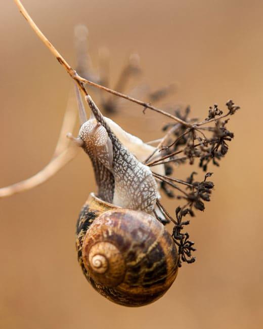 Garen Snail. Photo by Chris Whittier