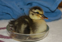 Orphaned Duckling at WildCare. Photo by Barker/Shaw