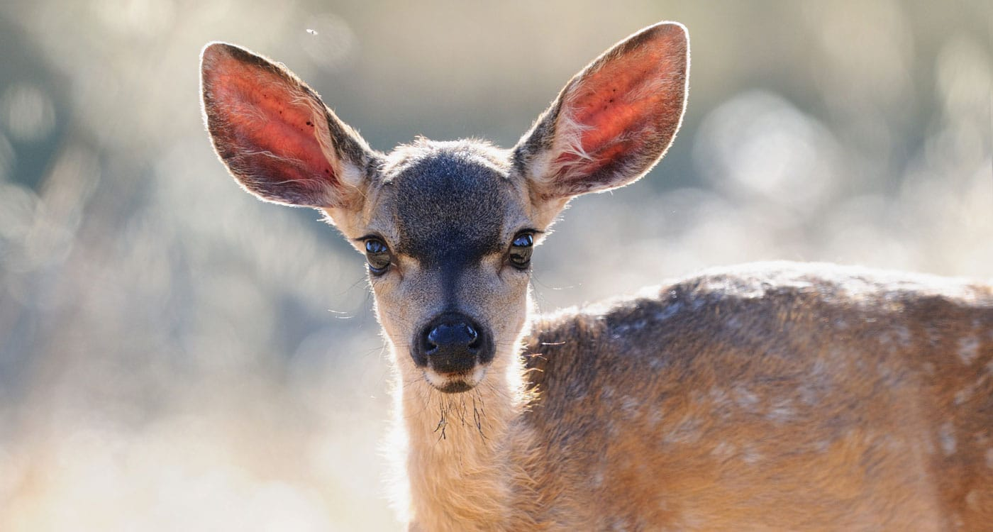 Fawn. Photo by Jacqueline Deely