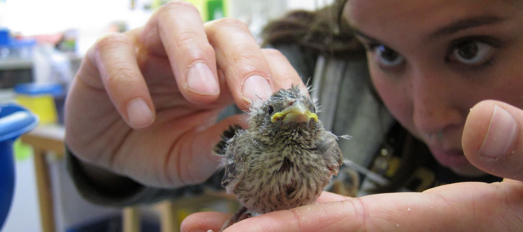 Examining a songbird at WildCare. Photo by Alison Hermance