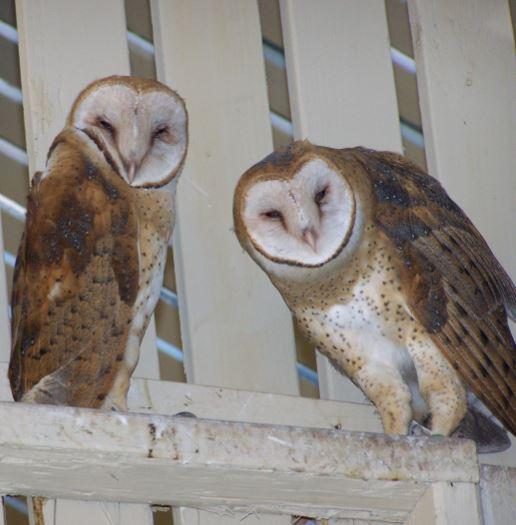 Barn Owls. Photo by Alex Godbe