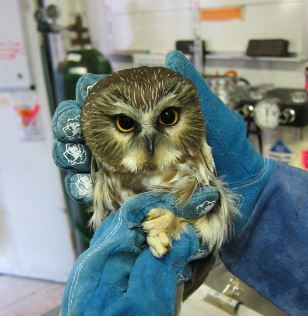 Examining a Northern Saw Whet Owl. Photo by Alison Hermance