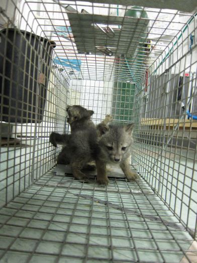 Baby Gray Foxes caught in trap. Photo by Alison Hermance