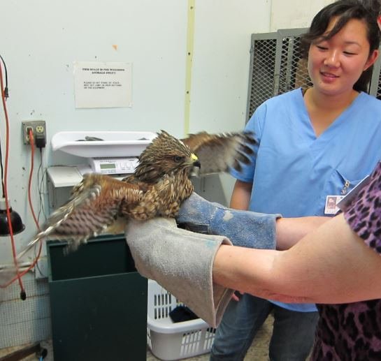 Examining a Red-shouldered Hawk. Photo by Alison Hermance