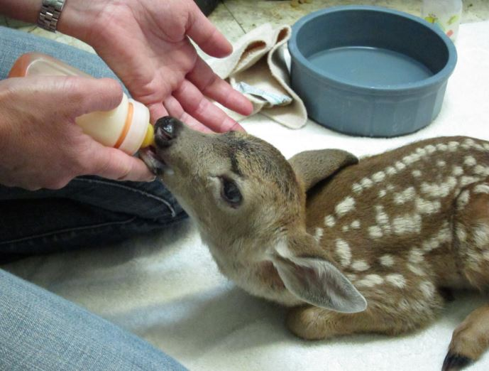 Feeding an orphaned fawn. Photo by Alison Hermance