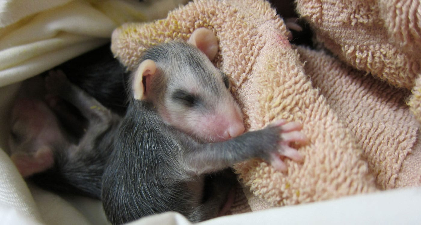 Orphaned opossum at WildCare. Photo by Alison Hermance