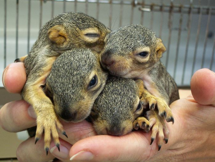 Orphaned Fox Squirrels. Photo by Alison Hermance