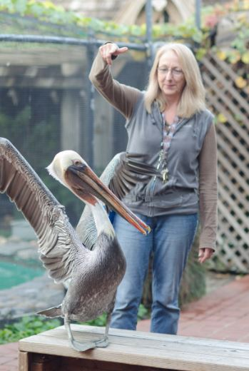 Wildlife Ambassador pelican at WildCare. Photo by Laurel Hulme