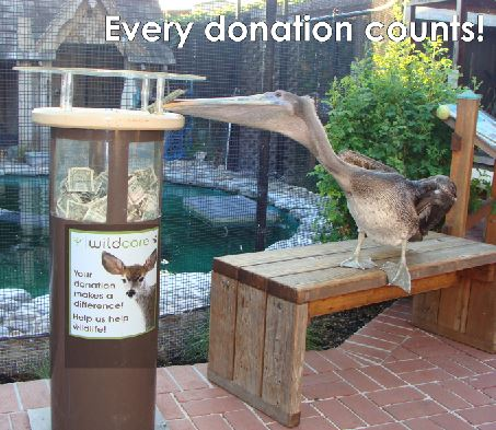 Pelican Donor. Photo by Mary Pounder