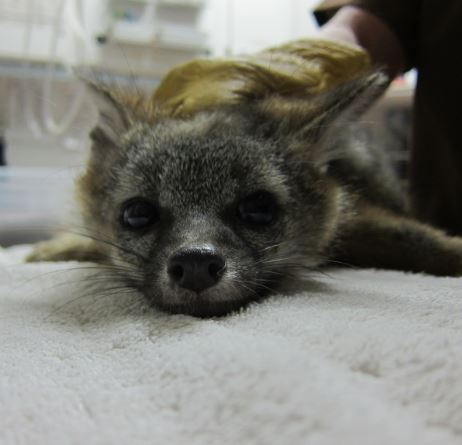 Gray Fox being examined at WildCare. Photo by Melanie Piazza