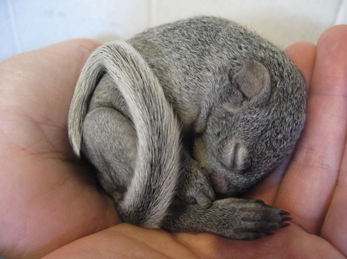 Orphaned baby squirrel at WildCare. Photo by Melanie Piazza