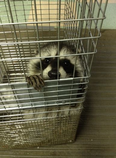 """Young raccoon in """"humane"""" trap. Photo by Melanie Piazza"""