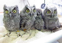 Orphaned baby Screech Owls at WildCare. Photo by Melanie Piazza