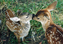 Orphaned fawns at WildCare. Photo by Alison Hermance