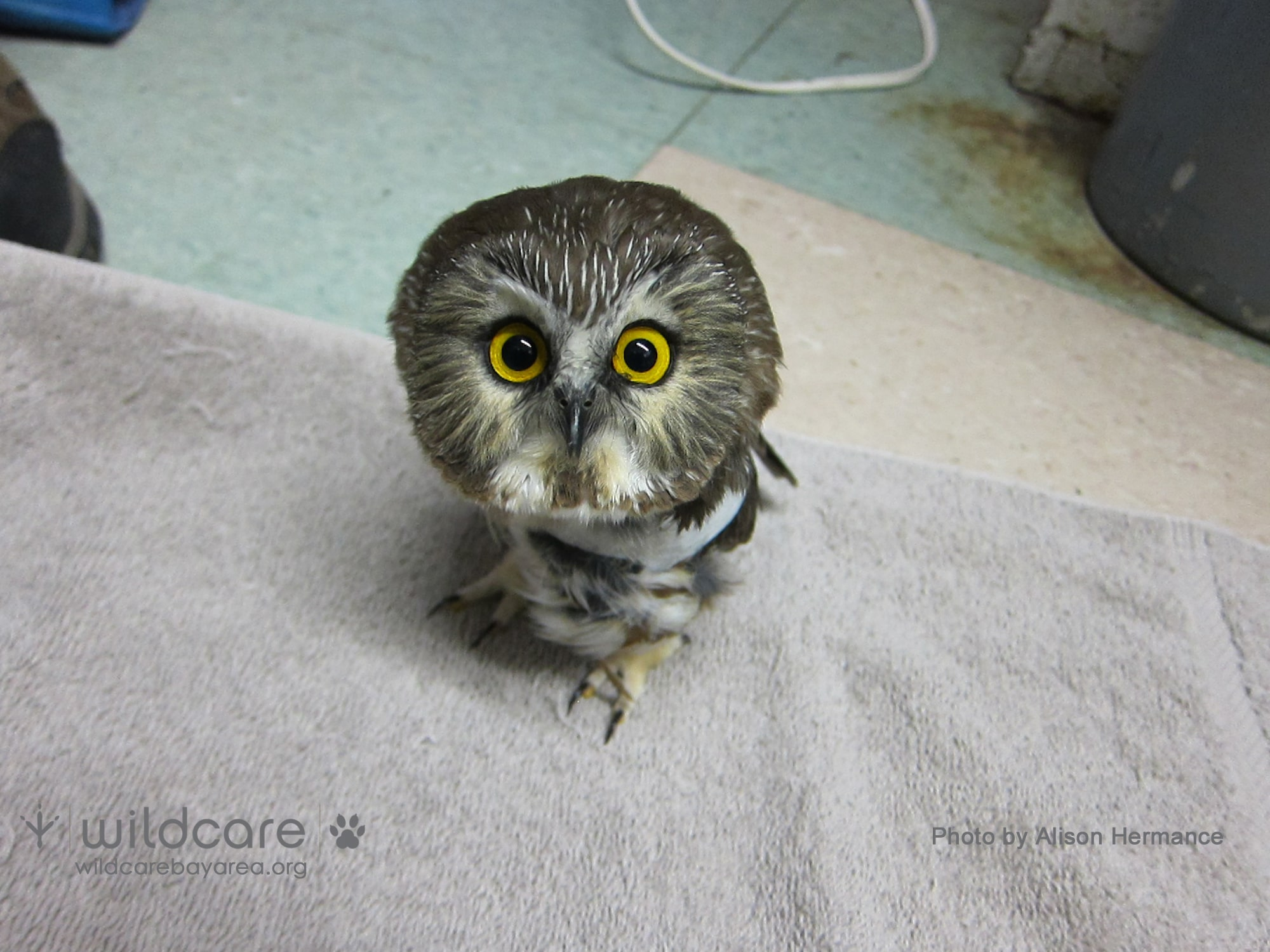 Northern Saw Whet Owl in care at WildCare. Photo by Alison Hermance