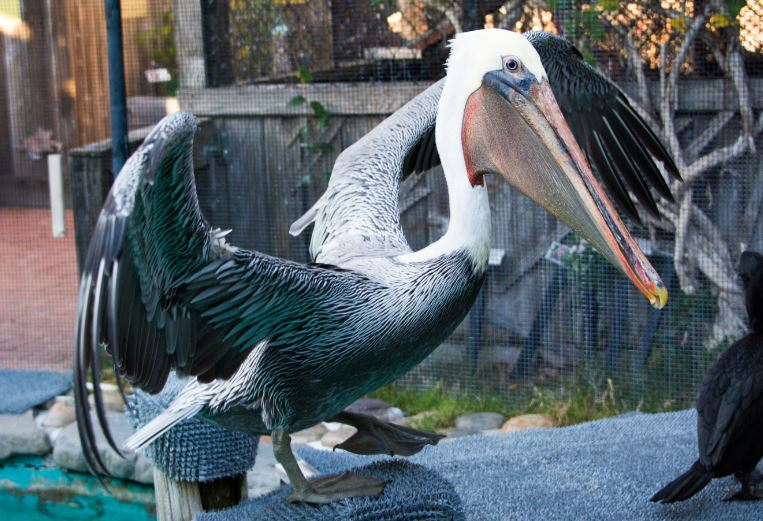 Baja the Brown Pelican ready to dive. Photo by Amy Woodward