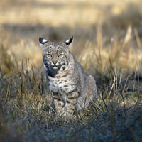 Bobcat at Tennessee Valley. Photo by Trish Carney