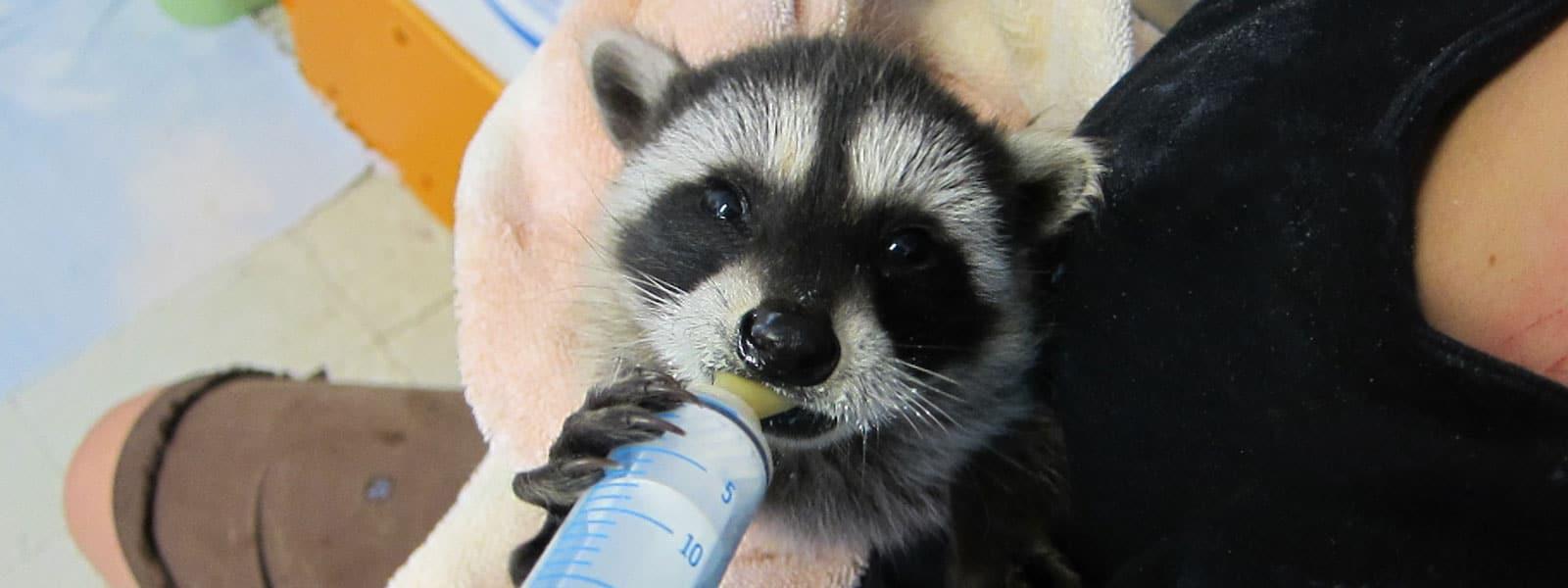 Feeding an orphaned raccoon baby. Photo by Alison Hermance