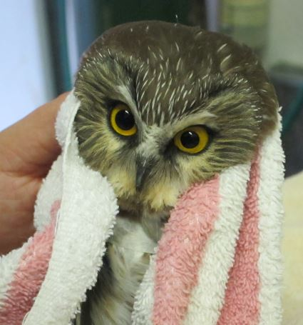 Imjured Saw Whet Owl at WildCare. Photo by Alison Hermance