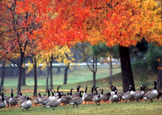 Canada Geese at the park. Photo by Ken Benjamin