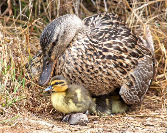 Duck and duckling. Photo by Marianne Hale