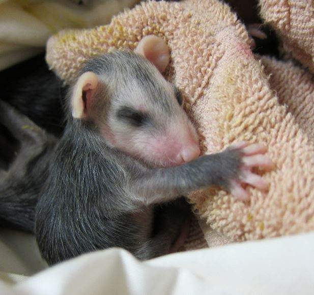 Orphaned baby opossum at WildCare. Photo by Alison Hermance