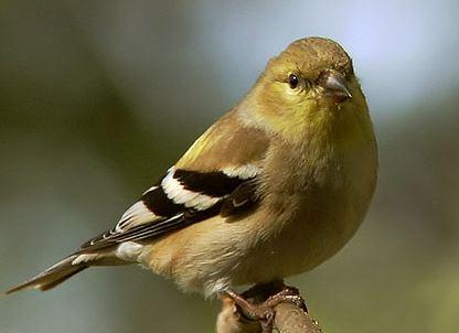 Goldfinch. Photo by Tom Grey