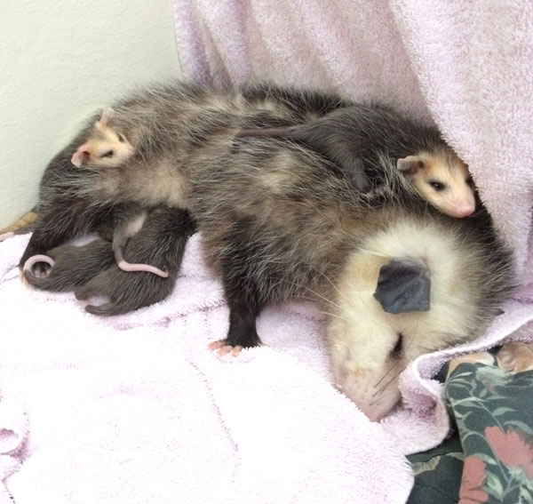 Opossum mother and babies at WildCare. Photo by Kate Lynch