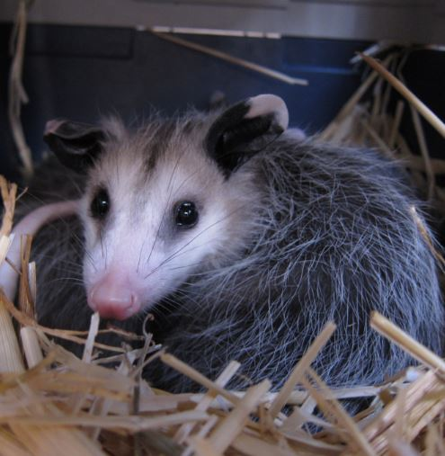 Young opossum at WildCare. Photo by Alison Hermance