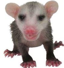 Orphaned opossum at WildCare