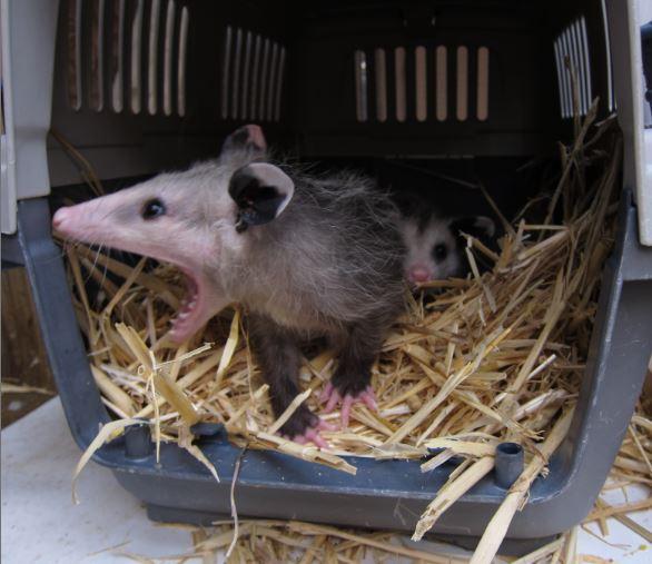 Yawning opossum. Photo by Alison Hermance