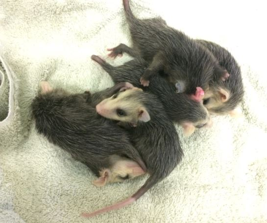 The rescued opossums at WildCare. Photo by Kate Lynch