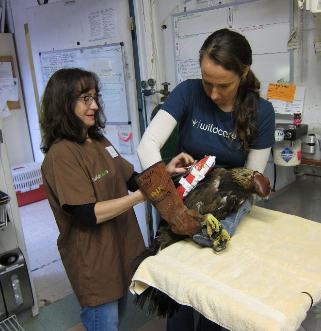 Wrapping the eagle's wing. Photo by Alison Hermance