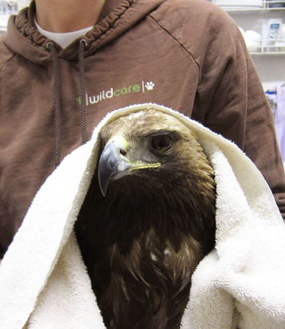 Golden Eagle at WildCare. Photo by Alison Hermance