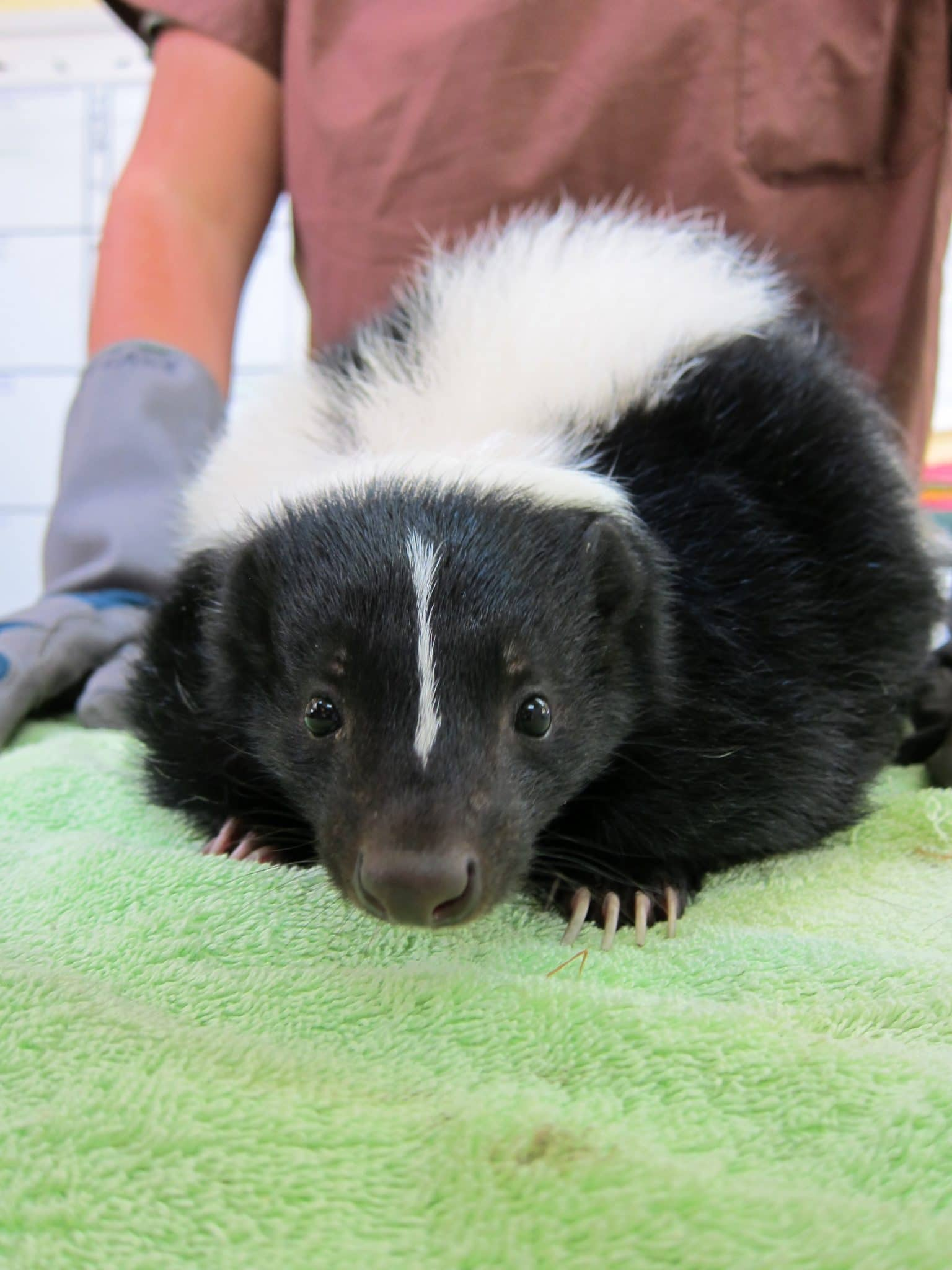 Skunk at WildCare. Photo by Alison Hermance